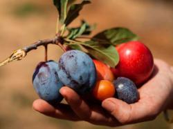 Учений створив «дерево 40 фруктів»